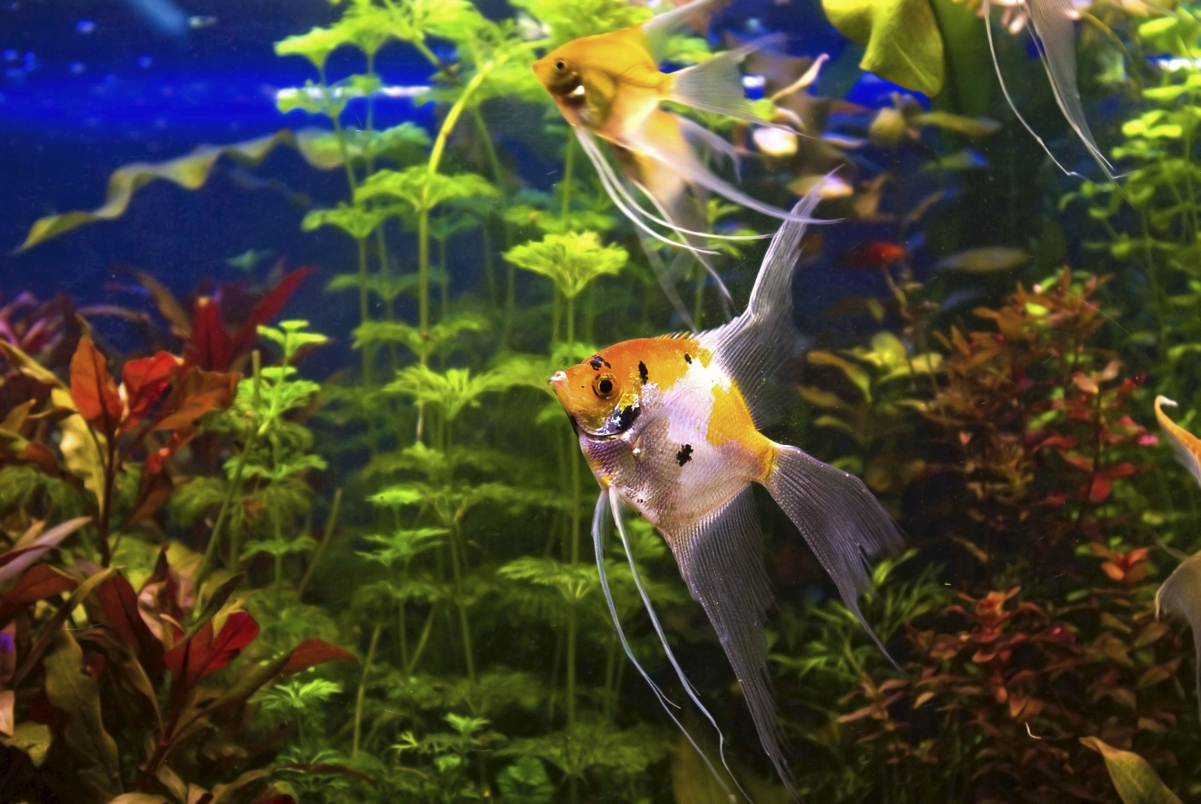 WallpaperFusion-angelfish-Original-3872x2592.jpg