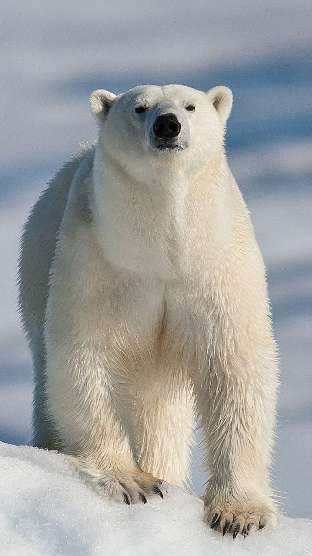 WallpaperFusion-baby-polar-bear-his-dad-Original-1080x1920.jpg