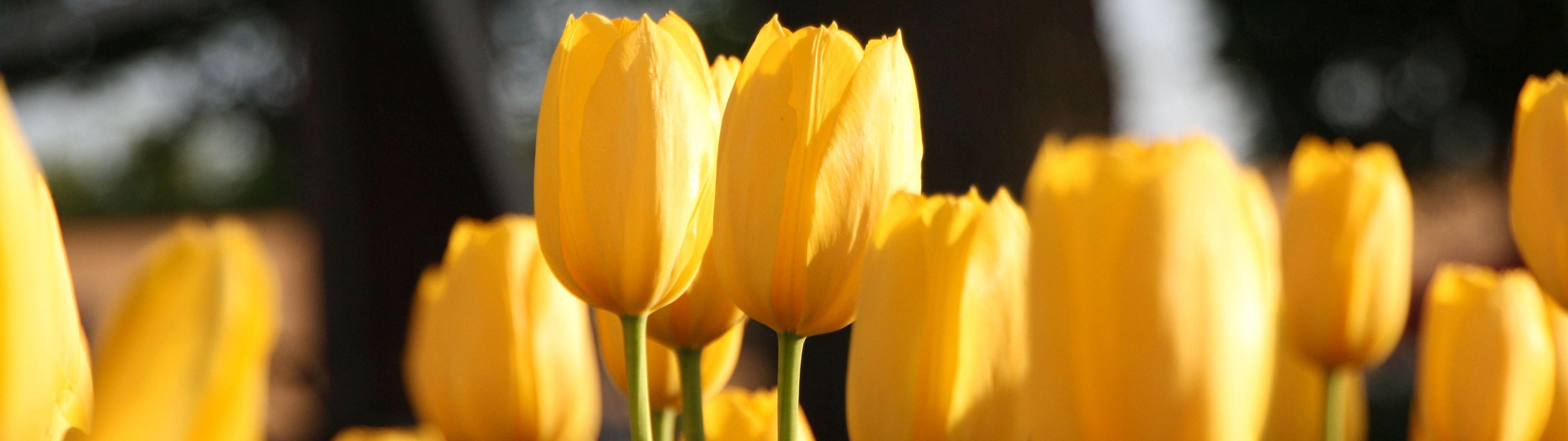 WallpaperFusion-octf-2009-yellow-tulips-and-windmill-Original-3888x2592.jpg