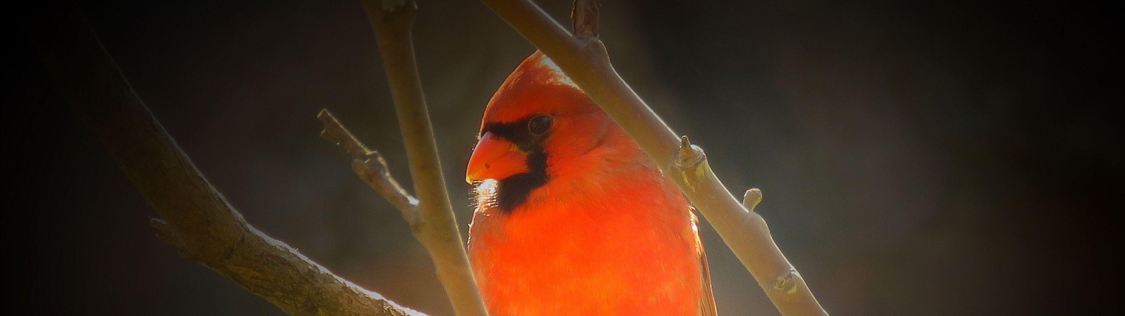 WallpaperFusion-male-northern-cardinal-Original-3840x1080.jpg