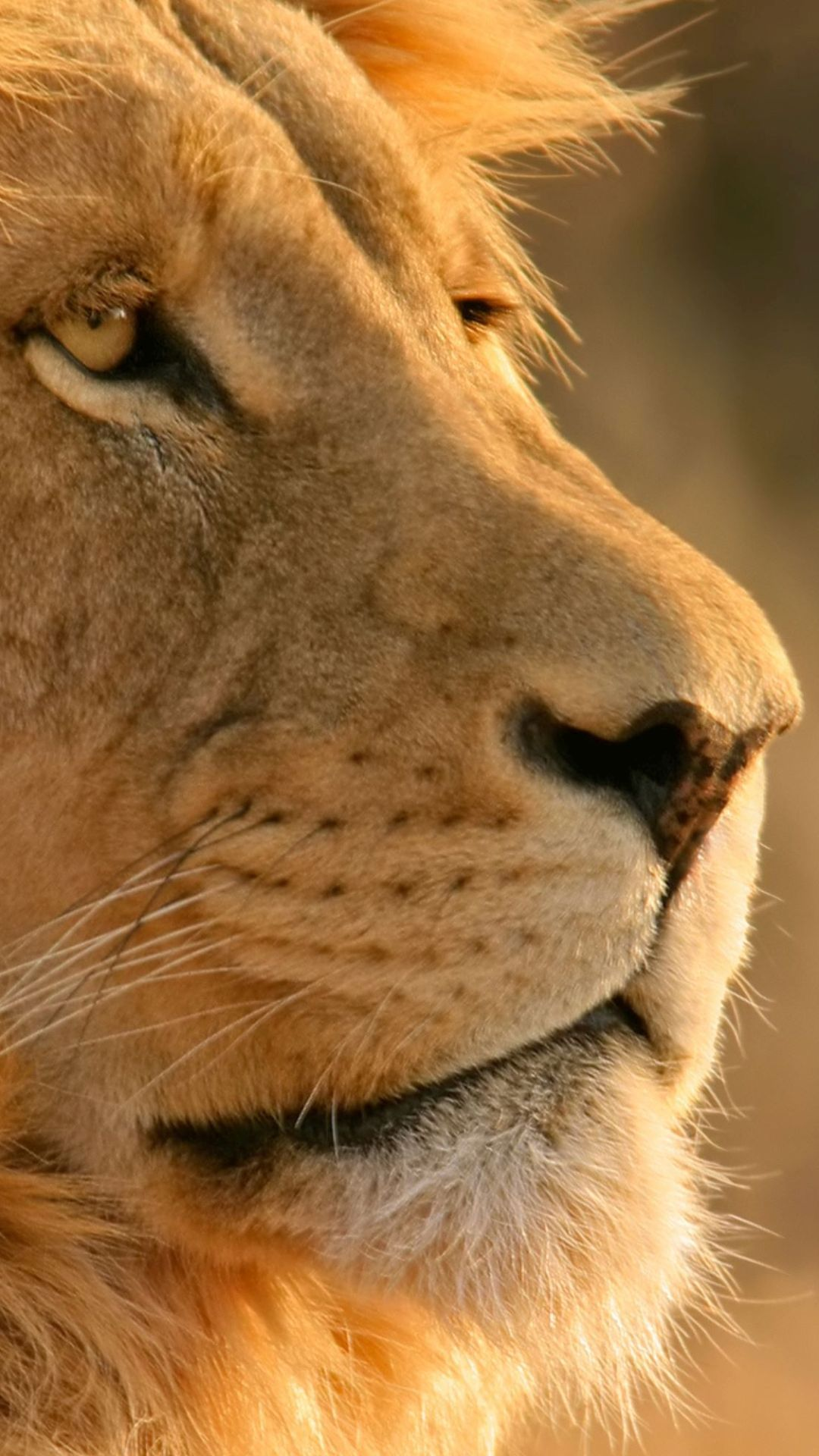 WallpaperFusion-lion-Original-1080x1920.jpg